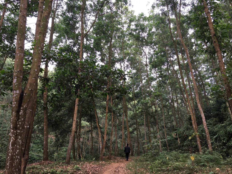 Rừng 10 năm tuổi tại Khải Xuân – Thanh Ba – Phú Thọ của công ty Lương Sơn